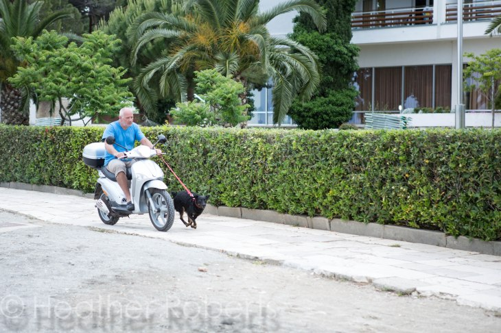 Yes, that is a man walking his dog on a Vespa.